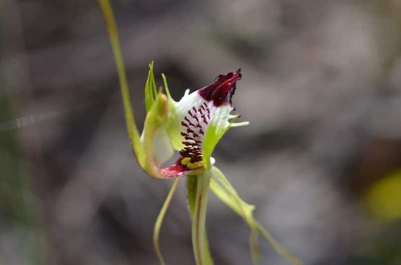 Caladenia Tensa