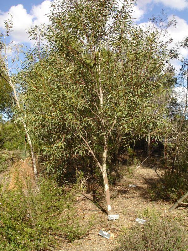 Eucalyptus Gregsoniana