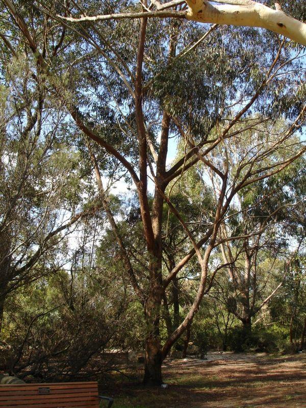 Eucalyptus Piperita