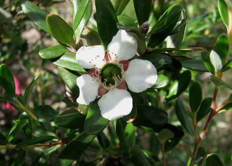 Leptospermum Deuense