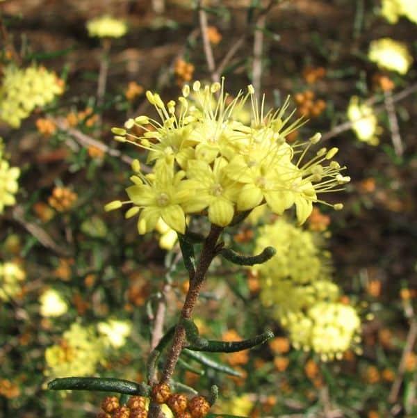 Phebalium Stenophyllum
