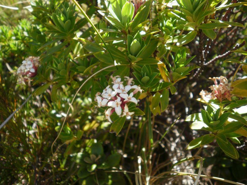 Pimelea Longifolia