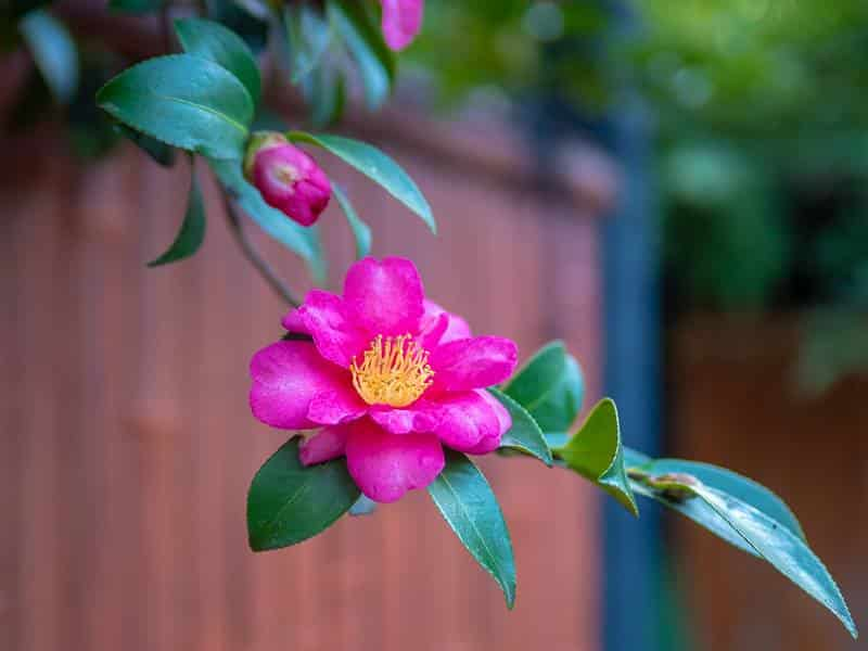 Pink Magenta Camellia