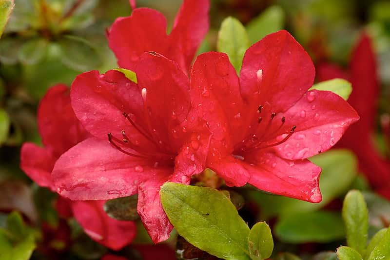Colour Your Pergola with these Shade-Loving Plants - Azaleas are a perfect plant for a verandah, pergola or patio, Australian Outdoor Living.