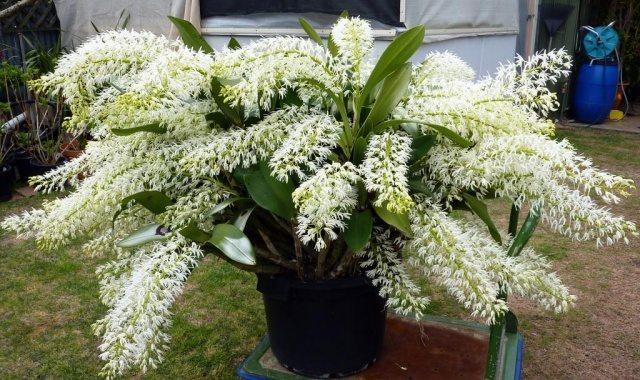 dendrobium-speciosum-orchid-e1459210238152