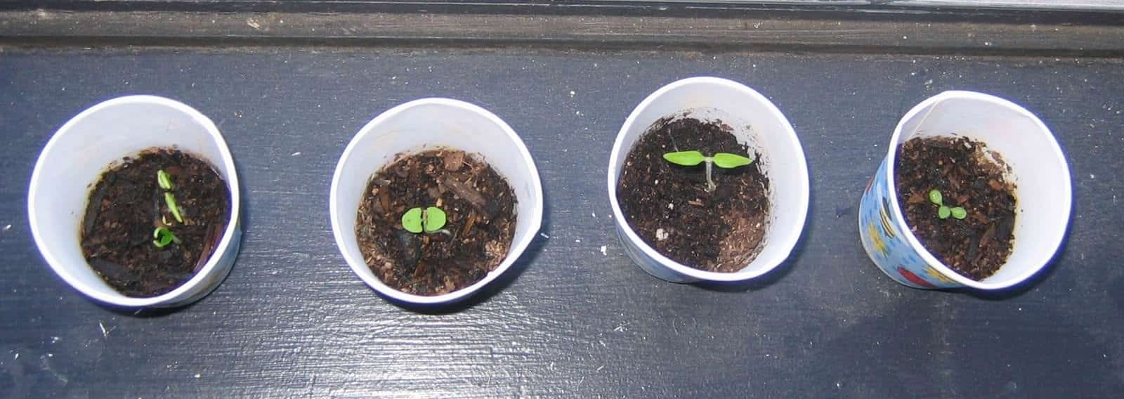 Biodegradable seedling cups.