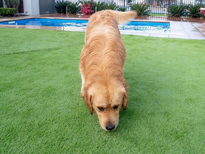 How to keep your artificial lawn smelling great if you have a pet - Another option to keep your artificial lawn smelling great is purchasing something like Zeolite or Trigene, Australian Outdoor Living.