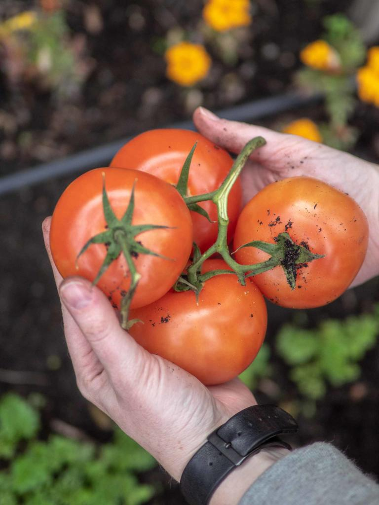 How to start a vegetable garden in your very own backyard - Tomatoes are a great choice for your veggie garden, Australian Outdoor Living.