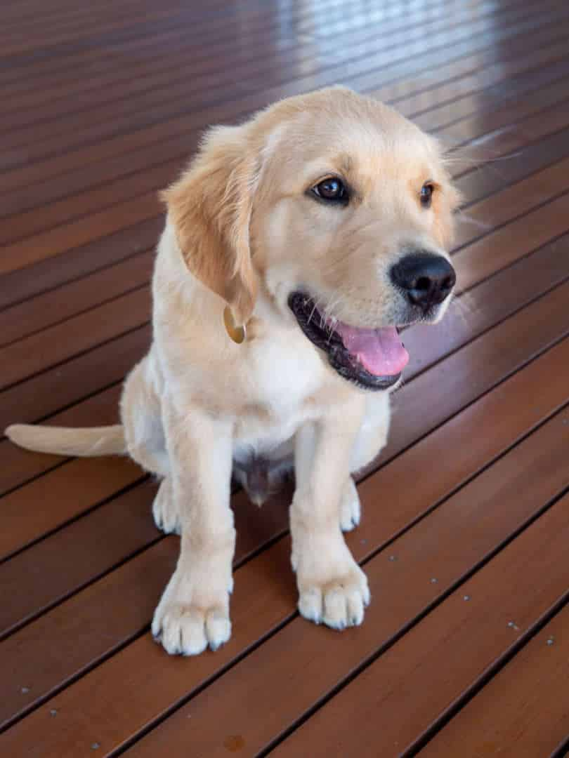 Dogs of AOL: Sonny the Golden Retriever - Meet Sonny: Dogs of AOL, Australian Outdoor Living.