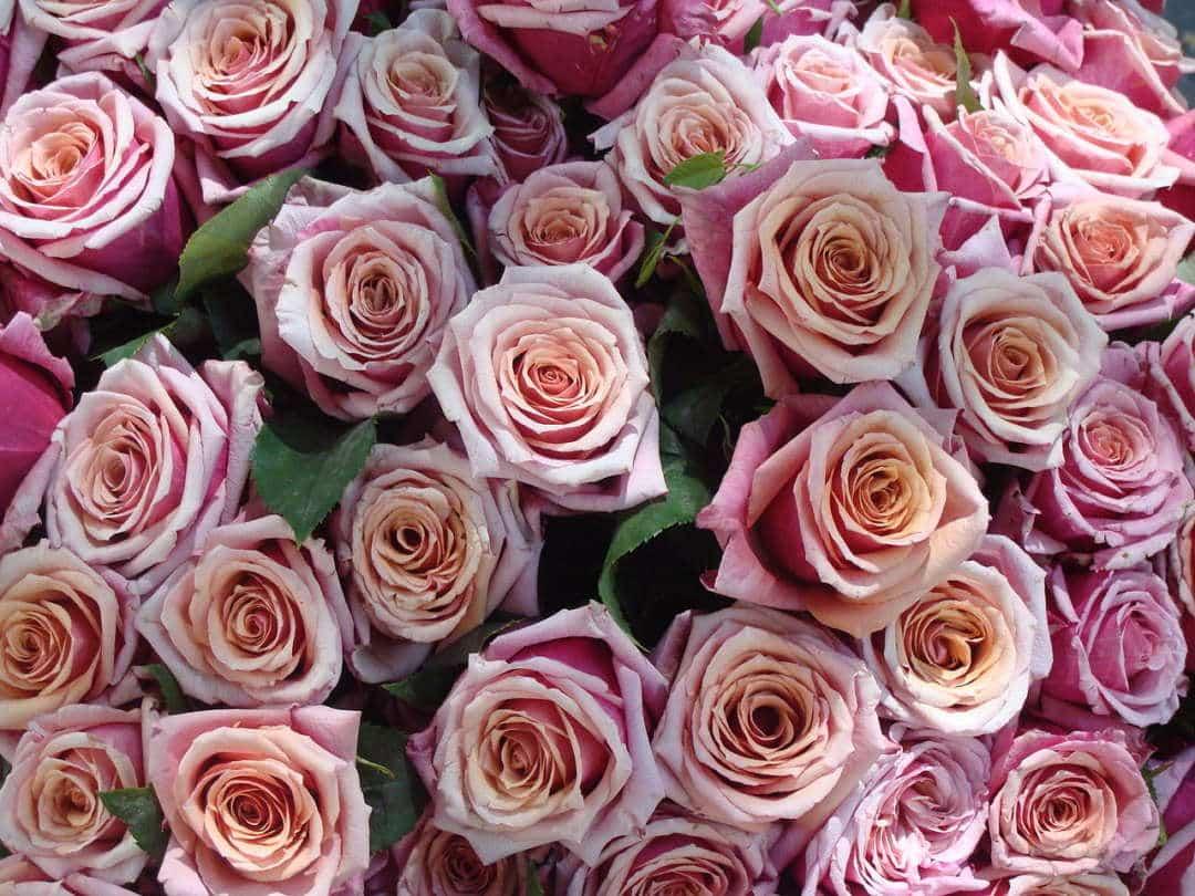 Best smelling flowers for your garden - Roses, Australian Outdoor Living.
