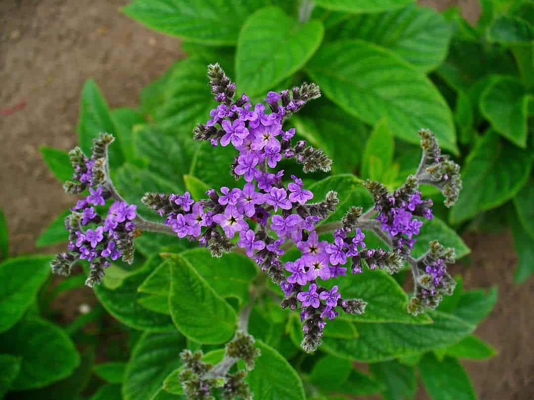 Best smelling flowers for your garden - Heliotrope or 'Cherry Pie' (Heliotropium arborescens), Australian Outdoor Living.