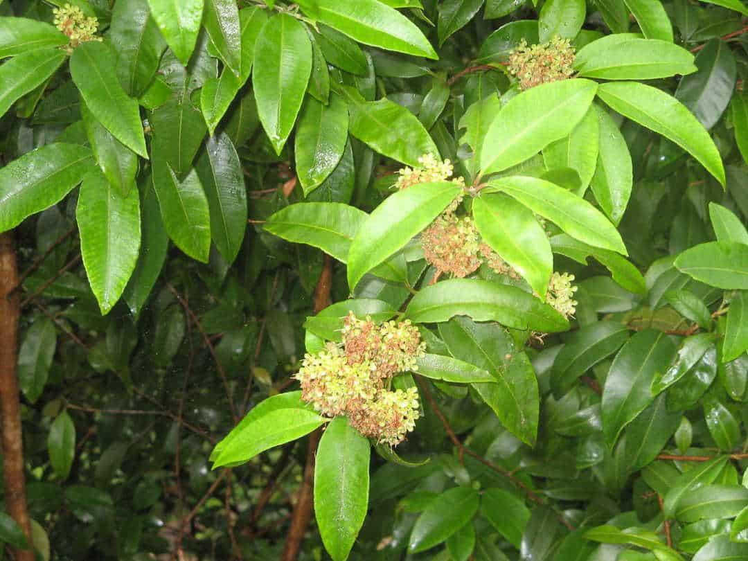 Best smelling flowers for your garden - Lemon Myrtle (Backhousia Citriodora), Australian Outdoor Living.