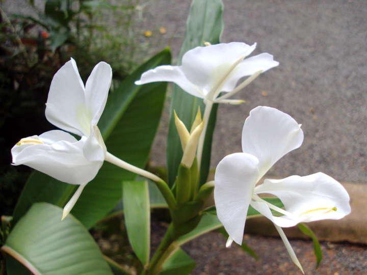 Best smelling flowers for your garden - Tuberose, Australian Outdoor Living.