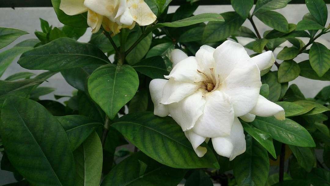 Best smelling flowers for your garden - Gardenia (Gardenia jasminoides), Australian Outdoor Living.