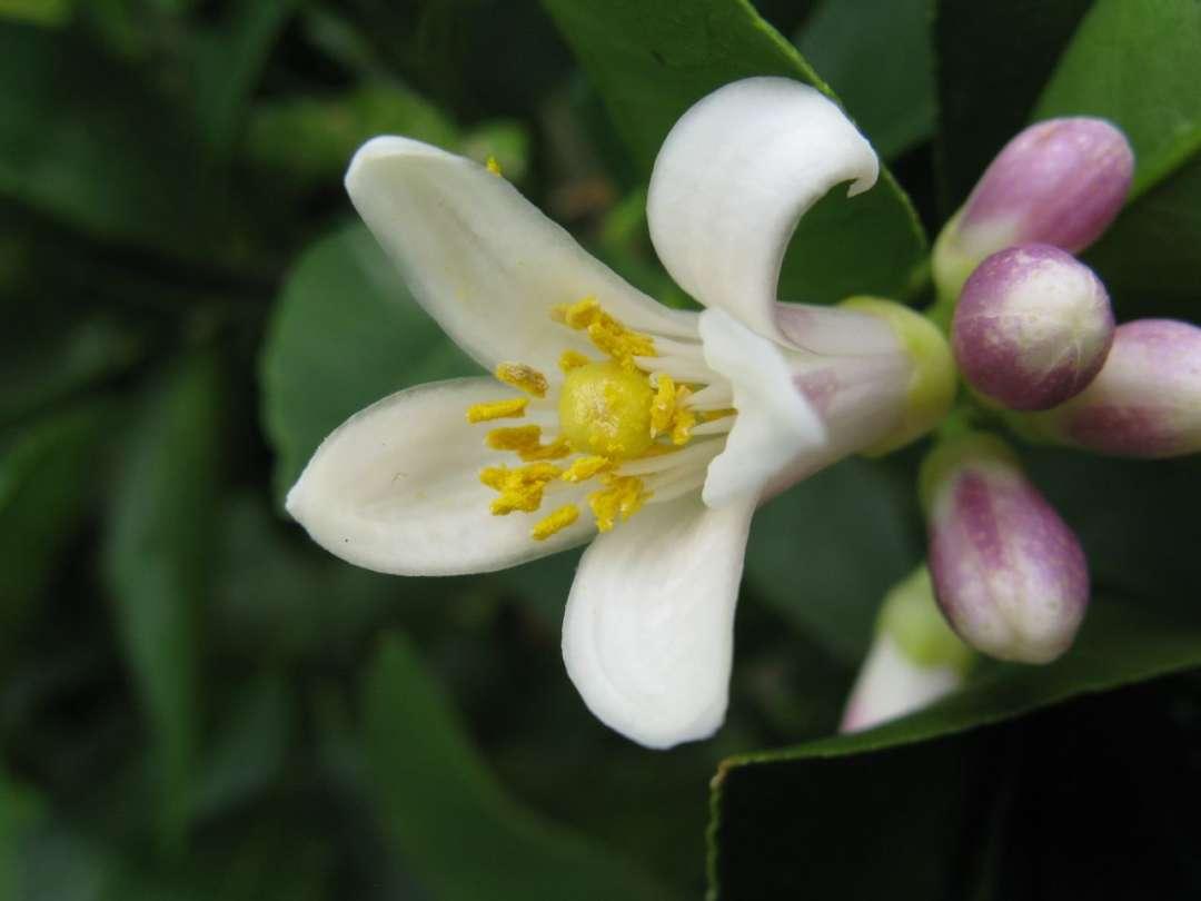 Best smelling flowers for your garden - Citrus, Australian Outdoor Living.
