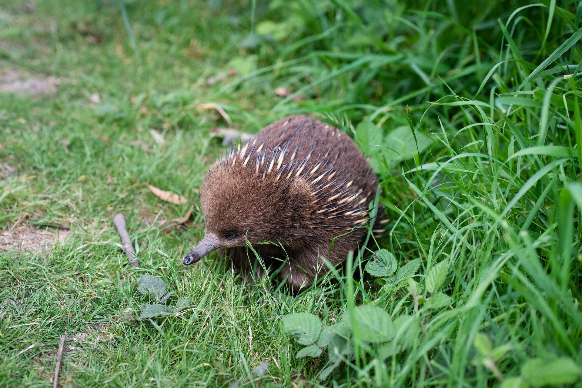 How to help your backyard wildlife during a heat wave - Echidnas often struggle in the heat, so they might need your help this summer, Australian Outdoor Living.